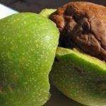 Benficiile nucilor verzi asupra sănătății