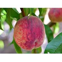 USAMV Bucuresti, acta horticulturae, piersicii, piersic