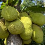 Jackfruit, fructul care poate înlocui carnea